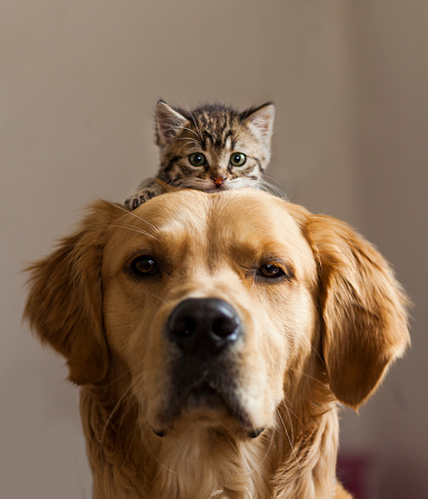 Golden Retriever with kitten on top of its head
