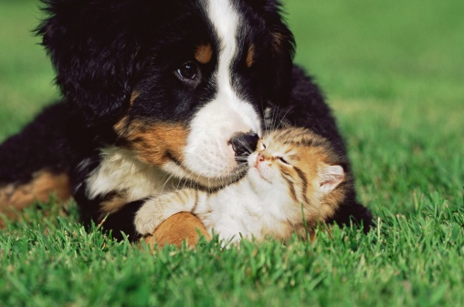 Bernese Mountain puppy snuggling kitten in grass